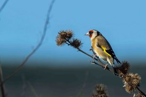 25.03.16. Goldfinch, Frodsham Marsh. Paul Crawley (2)