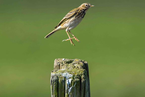 25.03.16. Meadow Pipit, Frodsham Marsh. Paul Crawley (2)