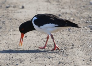 25.03.16. Oystercatcher, Frodsham Marsh. Tony Broome  (4)