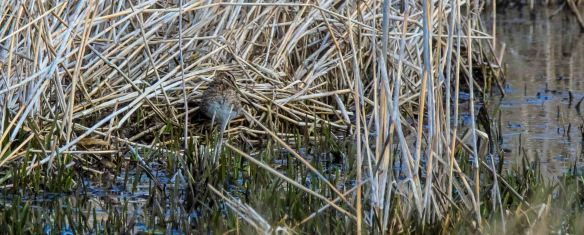 25.03.16. Snipe, Frodsham Marsh, Paul Crawley.