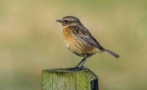 25.03.16. Stonechat, Frodsham Marsh. Paul Crawley (2)