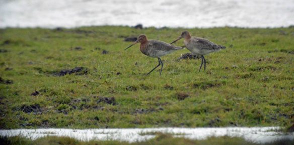 28.03.16. Black-tailed Godwit, No.3 tank, Frodsham Marsh. Bill Morton (3)