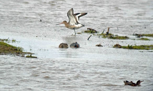 28.03.16. Black-tailed Godwit, No.3 tank, Frodsham Marsh. Bill Morton (7)