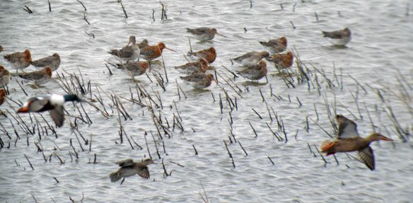 28.03.16. Black-tailed Godwits, No.6 tank, Frodsham Marsh. Bill Morton (1)