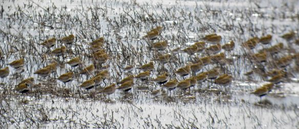 28.03.16. Golden Plover, No.6 tank, Frodsham Marsh. Bill Morton (2)