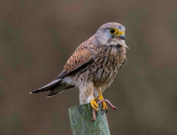 28.03.16. Kestrel, Frodsham Marsh. Paul Crawley (2)