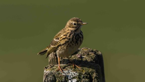 28.03.16. Meadow Pipit, Frodsham Marsh. Paul Crawley (1)