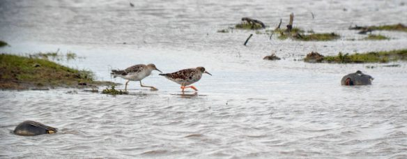 28.03.16. Ruff, No.3 tank, Frodsham Marsh. Bill Morton (5)