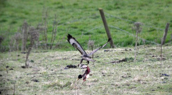 29.03.16. Common Buzzard with drake Mallard prey, Moorditch Lane, Frodsham Marsh. Bill Morton (4)