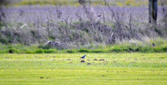 30.03.16. male Wheatear, Lordship Lane, Frodsham Marsh. Bill Morton (3)