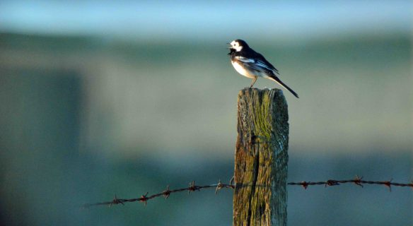 31.03.16.Pied Wagtail, Marsh Farm, Frodsham Marsh. Bill Morton