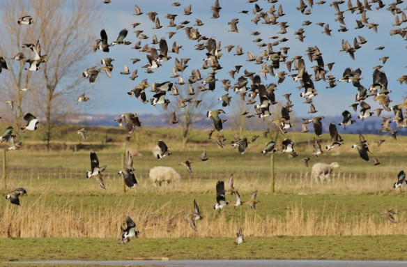 05.03.16. Lapwings and Golden Plovers, No.3 tank, Frodsham Marsh. Tony Broome