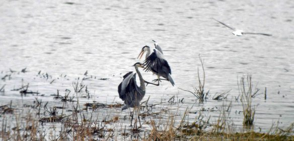 19.03.16. Grey Herons fighting, No.6 tank, Frodsham Marsh. Bill Morton