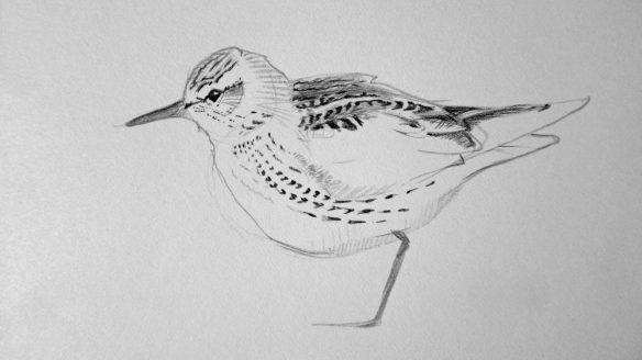 White-rumped Sandpiper painting (3)