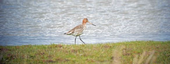 09.04.16. Black-tailed Godwit, No.3 tank, Frodsham Marsh. Bill Morton (1)