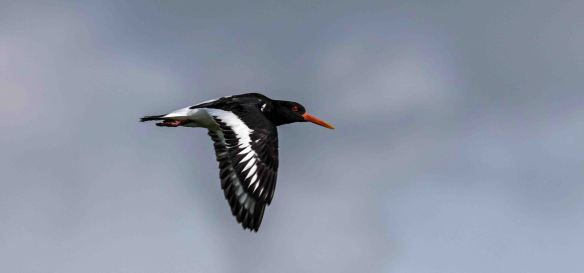 09.04.16. Oystercatcher, Frodsham Marsh. Paul Crawley (1)