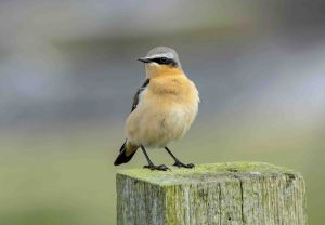 09.04.16. Wheatear, Frodsham Marsh. Paul Crawley (3)