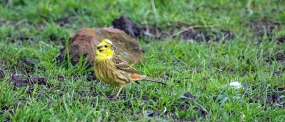09.04.16. Yellowhammer, Frodsham Marsh. Paul Crawley (1)