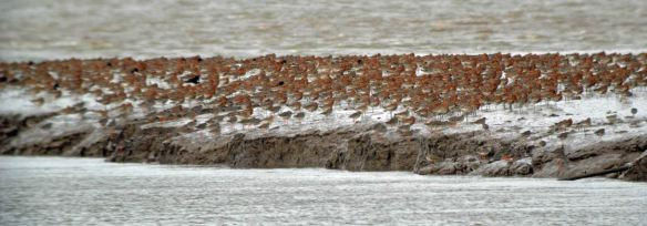 10.04.16. Black-tailed Godwits, Gowy Gutter. Bill Morton (2)