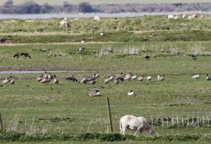 10.04.16. Pink-footed Geese , No.3 tank, Frodsham Marsh. Tony Broome