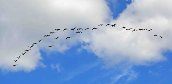 10.04.16. Pink-footed Geese over Frodsham Score. Bill Morton (10)