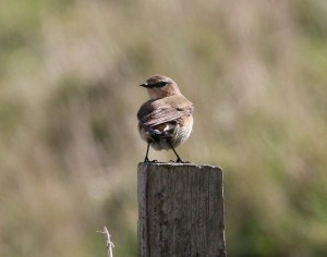 10.04.16. Wheatear, Frodsham Marsh. Tony Broome