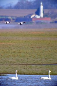 10.04.16. Whooper Swans and views on Frodsham Score. Bill Morton (10)