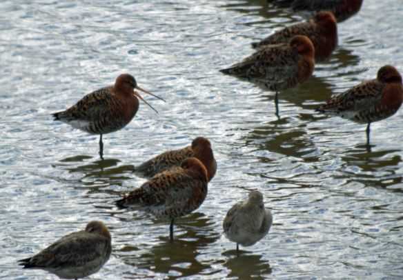 16.04.16. Black-tailed Godwits, No.6 tank, Frodsham Marsh. Bill Morton (9)