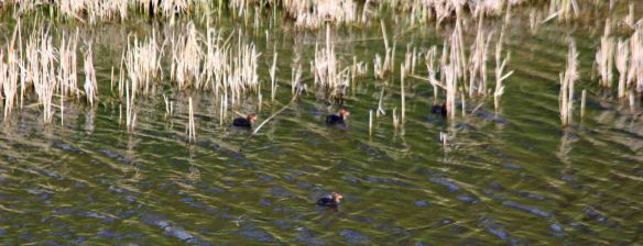 16.04.16. Coot chicks, Holpool Gutter, Ince Marshes. Paul Ralston (1)