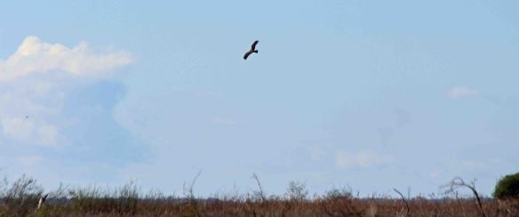 16.04.16. female Marsh Harrier, No.4 tank, Frodsham Marsh. Paul Ralston (1)