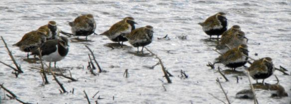 16.04.16. Golden Plovers, No.6 tank, Frodsham Marsh. Bill Morton (6)