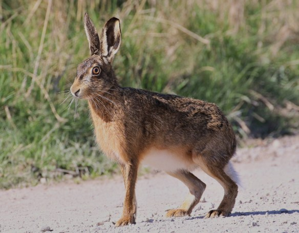 20.04.16. Brown Hare, Frodsham Marsh. Tony Broome (6)