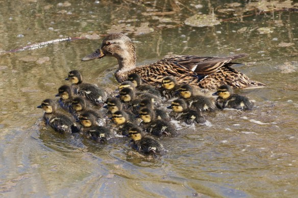 20.04.16. Mallard and ducklings, Frodsham Marsh. Tony Broome (9)