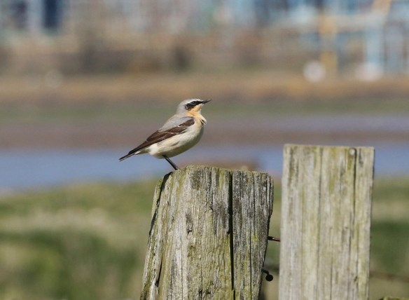 20.04.16. Wheatear, Marh Farm, Frodsham Marsh. Tony Broome (8)