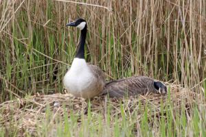 24.04.16.Canada Geese on nest, Ince marshes. Paul Ralston (1)
