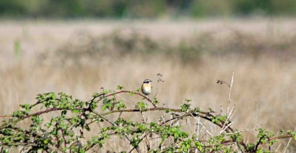 27.04.16. Whinchat, Gowy Meadows. Paul Ralston (2) - Copy