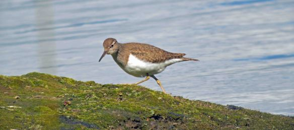 30.04.16. Common Sandpiper, Woolston Eyes, Cheshire. Bill Morton (30)