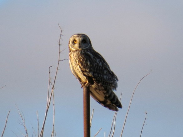 30.04.16. Short-eared Owl, Lordship Lane, Frodsham Marsh, Cheshire. Alyn Chambers (1)