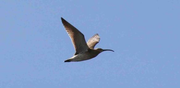 23.04.16. Whimbrel, No.6 tank, Frodsham Marsh. Tony Broome.