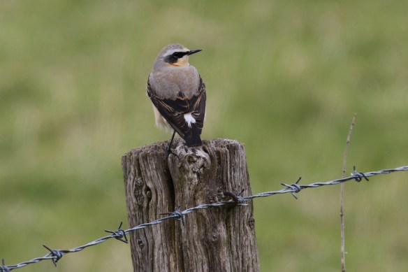 28.04.16. Wheatear, No.1 tank, Frodsham Marsh. Tony Broome
