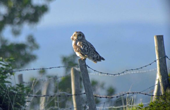 16.05.16. Short-eared Owl, No. tank, Frodsham Marsh. Bill Morton (1)