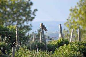 16.05.16. Short-eared Owl, No. tank, Frodsham Marsh. Bill Morton (2)