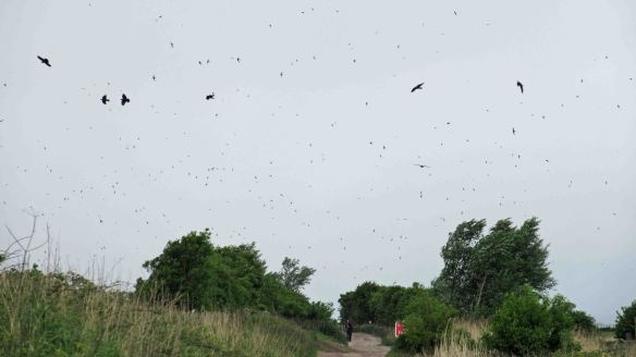 21.05.16. Commo Swifts over No.5 tank Frodsham Marsh. Bill Morton (5)