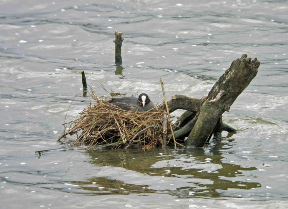 21.05.16.Coot on nest, No.6 tank,  Frodsham Marsh. Bill Morton (7) - Copy