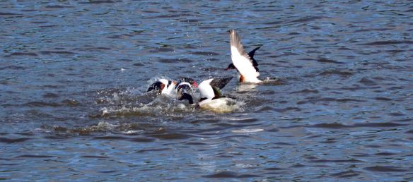 21.05.16. Shelduck fighting No.6 tank, Frodsham Marsh