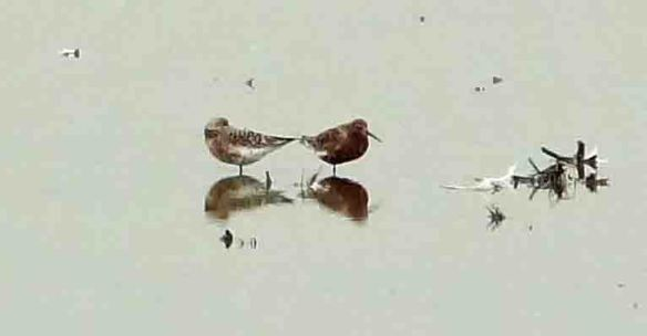 22.05.16. Curlew Sandpipers, No.6 tank, Frodsham Marsh. Tony Broome (2)