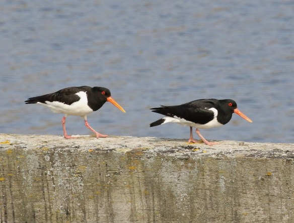 28.05.16. Oystercatcher, Frodsham Marsh. Tony Broome