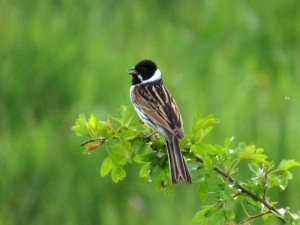29.05.16. Reed Bunting, Frodsham Marsh. Alyn Chambers