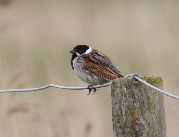 22.05.16. Reed Bunting, No.4 tank, Frodsham Marsh. Tony Broome