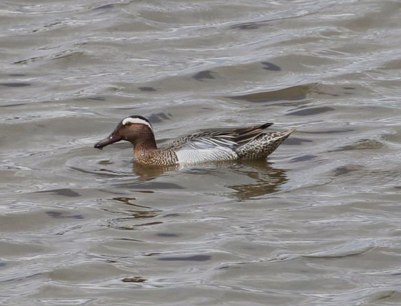 22.05.16. drake Garganey, No.6 tank, Frodsham Marsh. Tony Broome